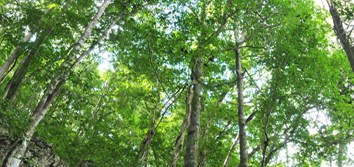 Stem hydraulic traits and leaf phenology