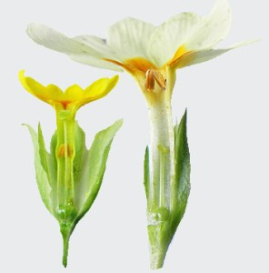 Sexual organ reciprocity in distylous primroses