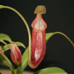 Nepenthes pitfall traps are a microbe-unfriendly environment