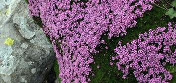 Characterization of longevity in Silene seeds