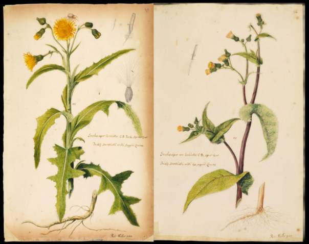 Illustration from British grasses and wildflowers by Richard Waller