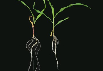 miRNAs responsive to low nitrate