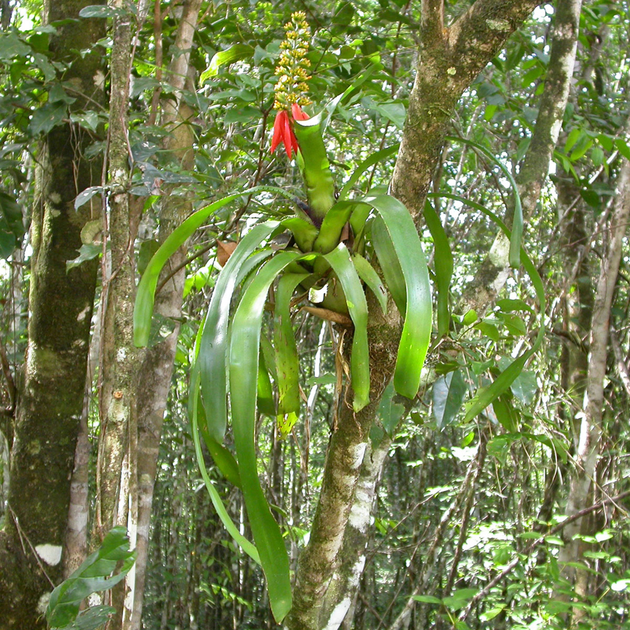 Mutualistic ants contribute to bromeliad nutrition