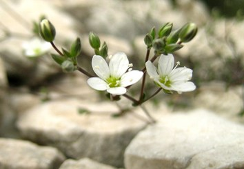 Central–marginal diversity in a Mediterranean endemic