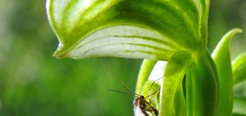 Pollination by sexual deception in Pterostylis