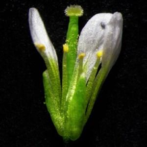 Temperature and reproductive success in arabidopsis