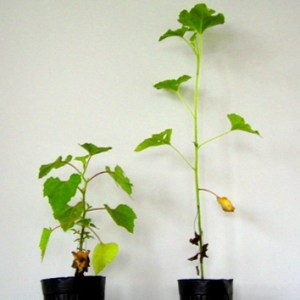 Stem extension and mechanical stability in <i>Xanthium</i>