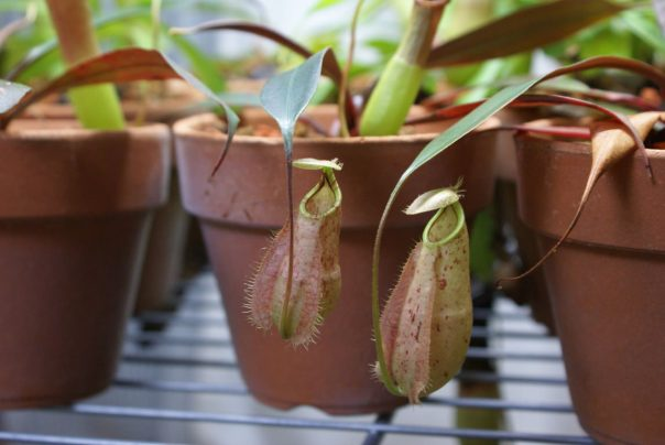 Nepenthes rafflesiana. Photo by i-saint/Flickr