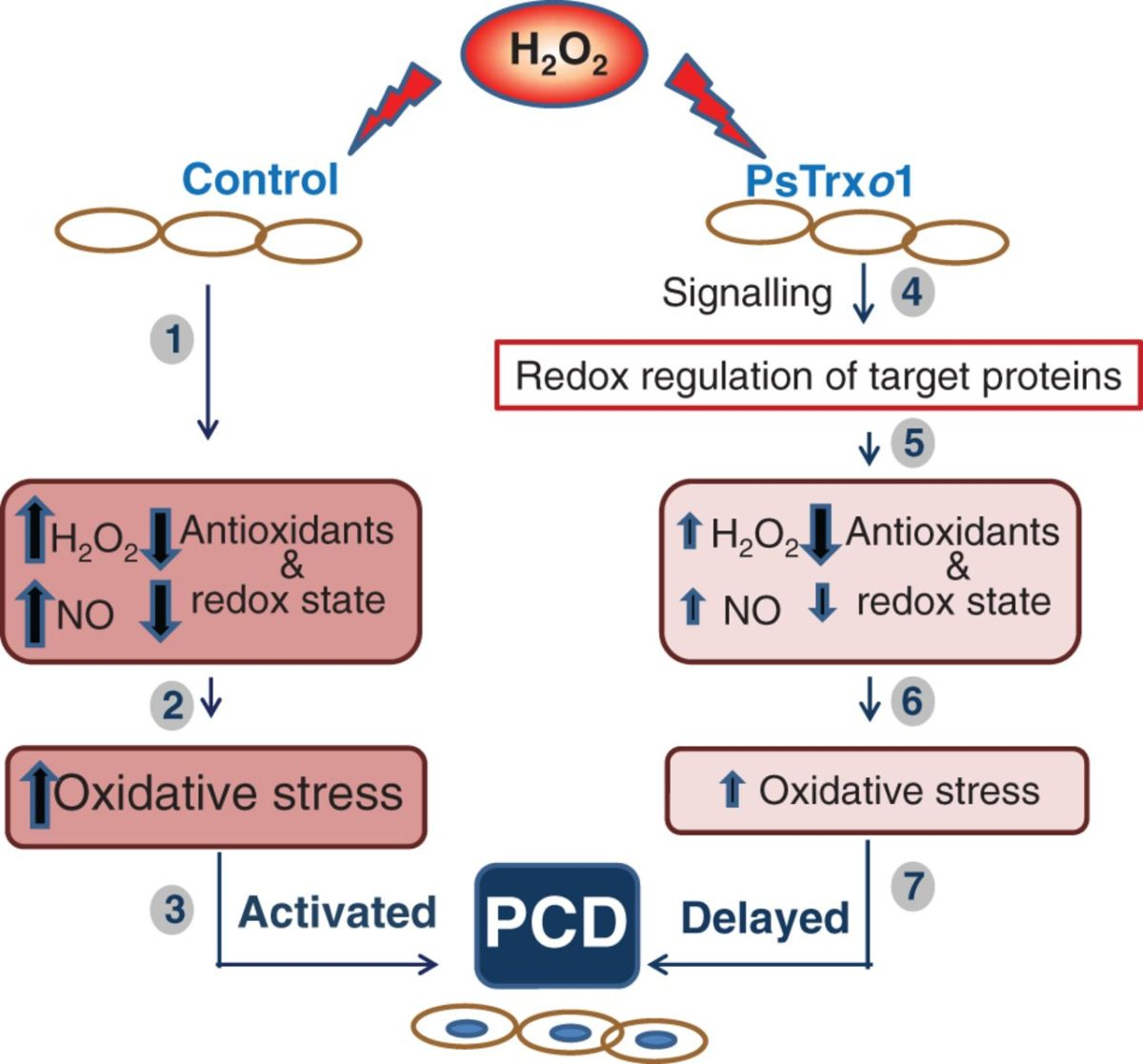 Over-expression of Trxo1 and cell viability under H2O2 stress