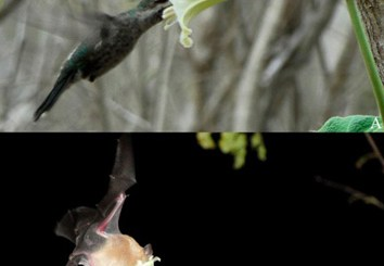 Despite sharing pollinators, there is more effective pollination by hummingbirds in Ipomoea marcellia (A) and by bats in I. aff. marcellia (B), which favours the reproductive isolation between such plant taxa and shows a tendency to specialization to one of the two groups of pollinators. (Photo credit: the authors)