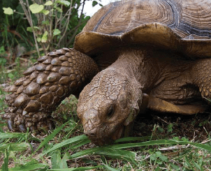 A non-native African sulcata tortoise (Centrochelys sulcata) munching on an invasive grass at the Makeuwahi Cave Reserve in Kaua'i, Hawaii. Non-native tortoises are increasingly being used to replace recently extinct island herbivores. Encouragingly, these tortoises predominantly feed on fast-growing invasive species, and likely help shifting the competitive advantage back towards native species. [photo credit: D.M. Hansen]