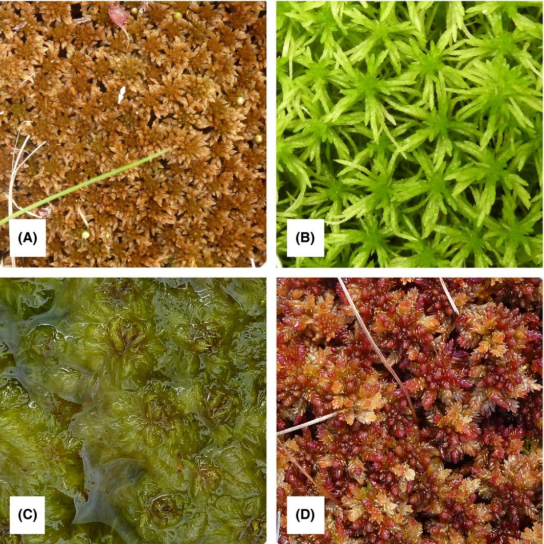 Life, death and what sphagnum does afterwards