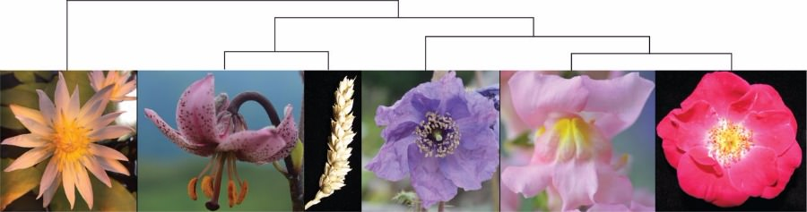 Tinkering with transcription factor networks for developmental robustness of Ranunculales flowers