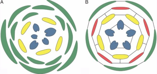 Different potential for synorganization of floral organs in different phyllotaxis patterns.