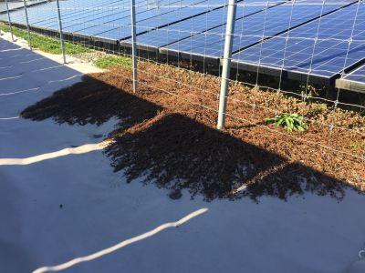 太陽光発電所のカバープラント「ヒメツルソバ」が冬枯れ中