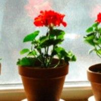 Geraniums maken nog meer mee (50)