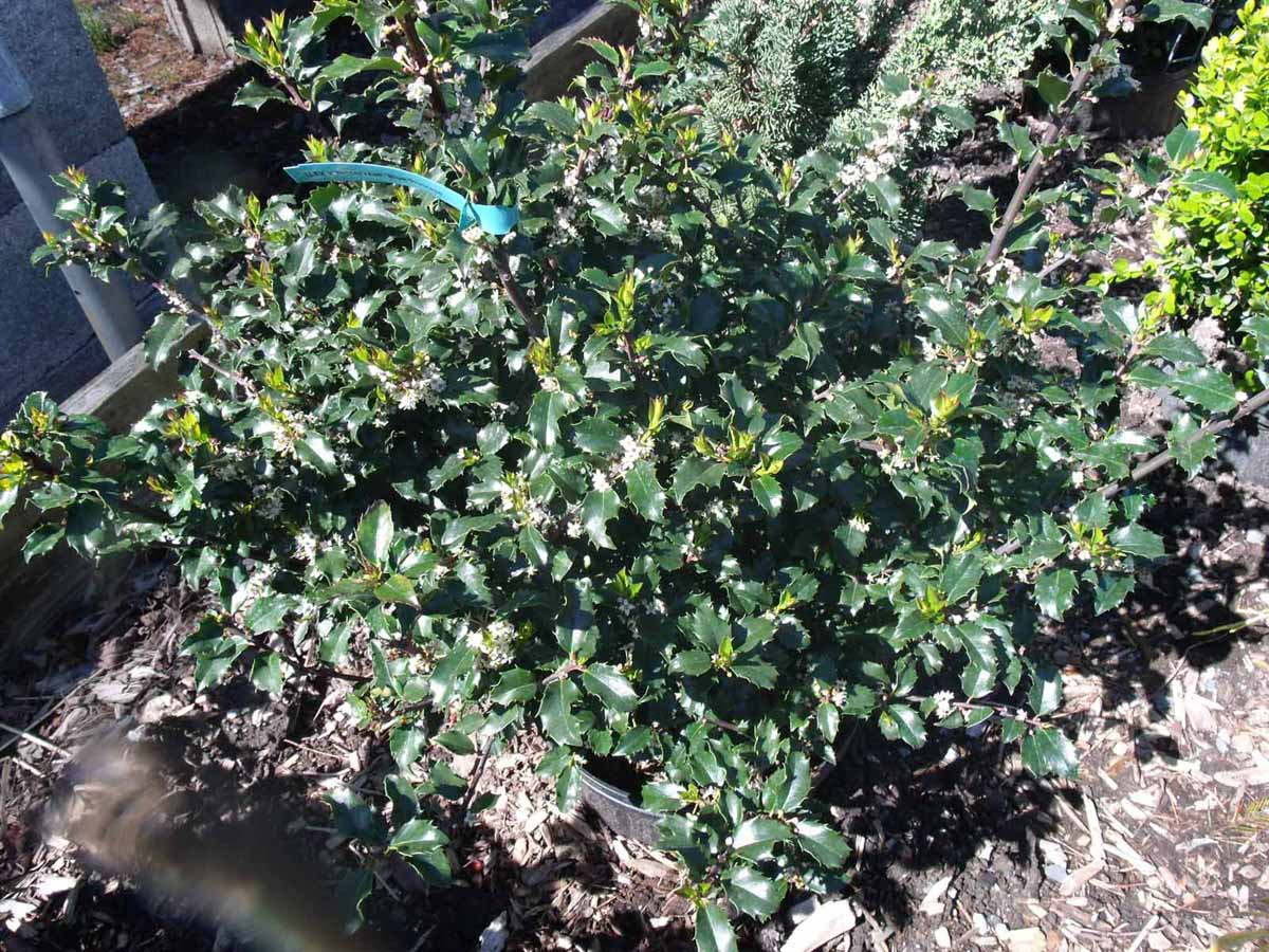 Smart Bergen County Almost Landscaping Blue Prince Holly Sun Blue Prince Holly Hedge Holly Blue Prince Shrubs houzz-02 Blue Prince Holly