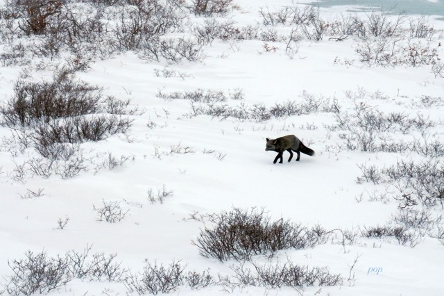 Silver fox in Churchill, Manitoba