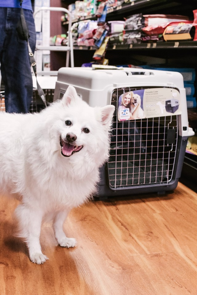 American Eskimo dog in front of crate at Pet Valu