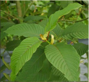 The Many Uses of Kratom and Its Benefits