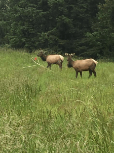 A young Roosevelt Elk bull helps us set up a transect.