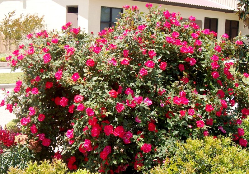 Large Of When To Prune Knockout Roses