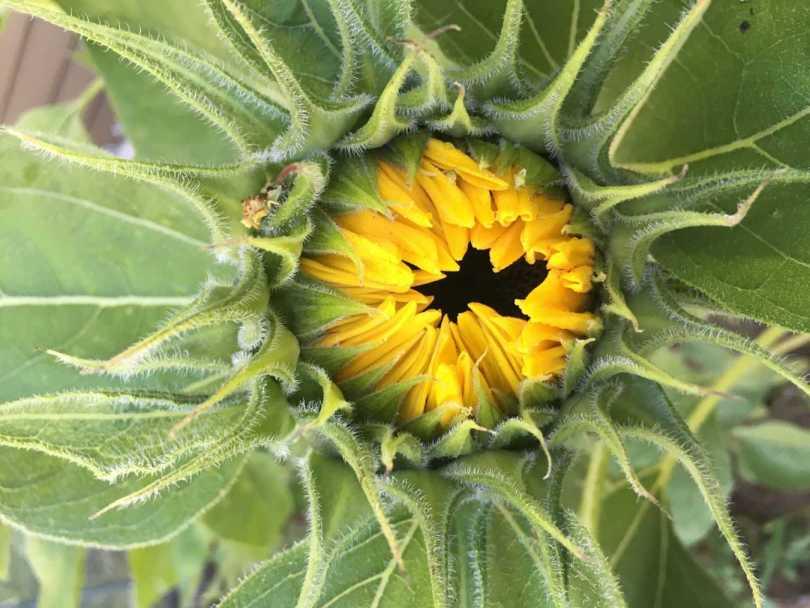Sunflower-FeaturedImage