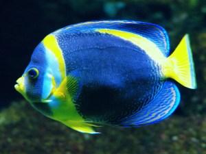 Angelfishes (Pomacanthidae)