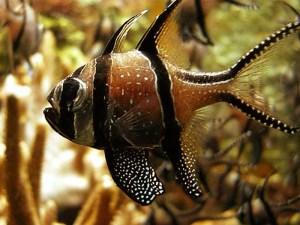 Cardinalfishes (Apogonidae)