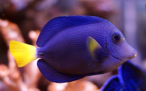 large adult purple tang (Zebrasoma xanthurum). Transshippers known for the quality of their fish take extra care during the entire process of preparing the fish for shipment.