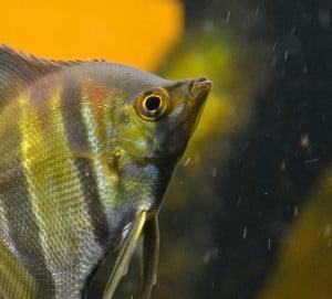 Aquariadise presents: the 8 worst beginner fish