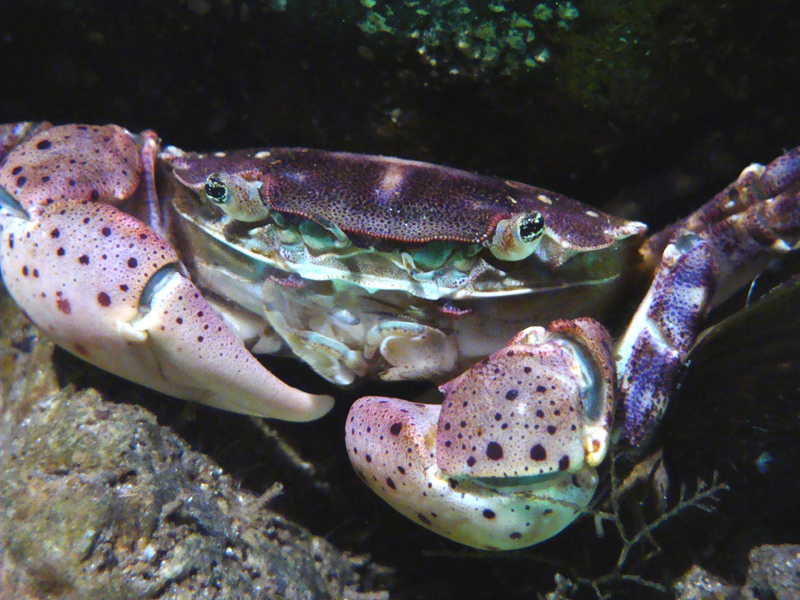 (Hemigrapsus)invasif-de-la-côte-d'opale