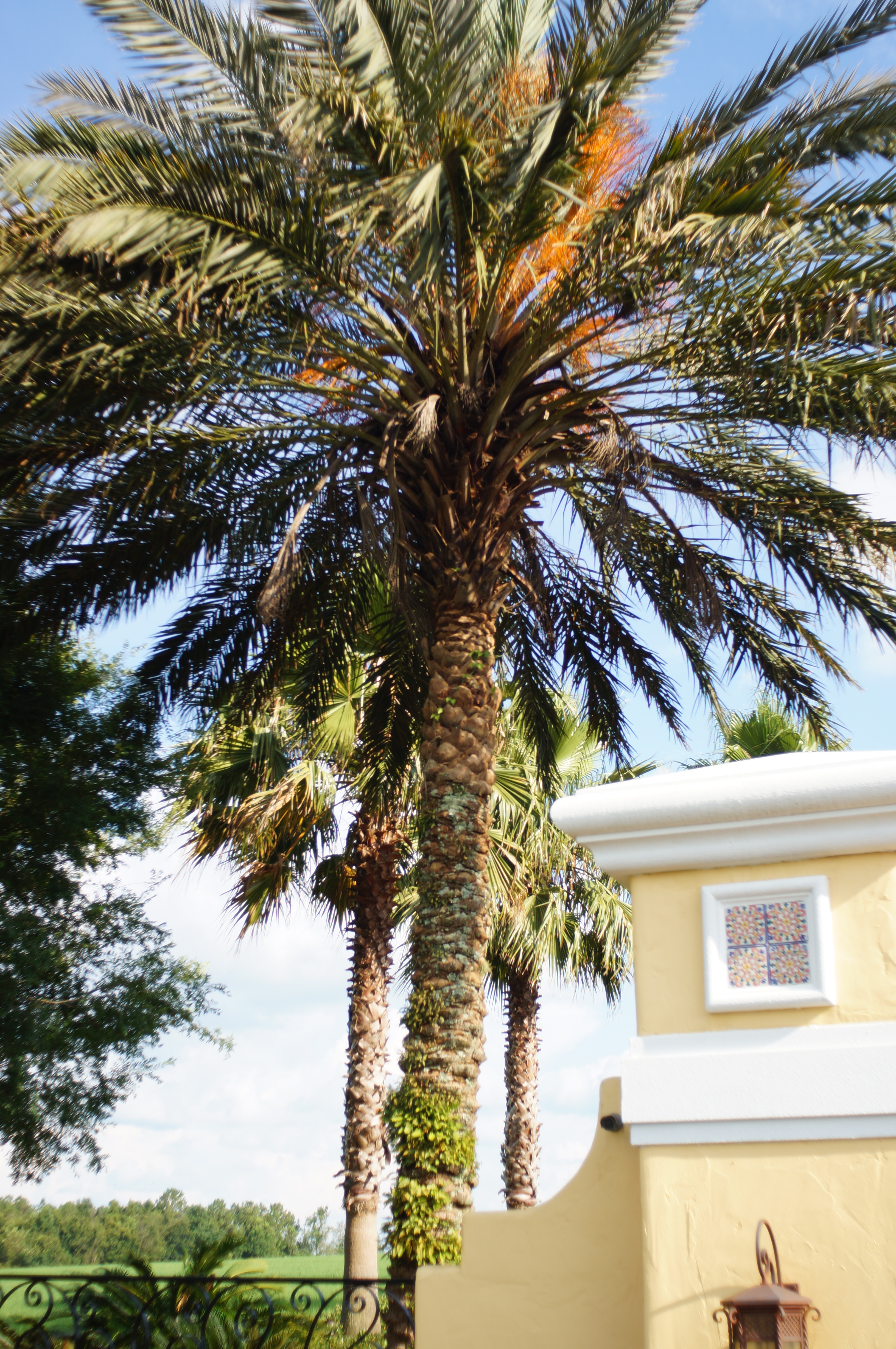 Considerable Life Healthy Medjool That Needs To Be Matched Palm Problems Days A Consulting Arborist Medjool Date Palms Sale California Medjool Date Palm Growth Rate houzz 01 Medjool Date Palm