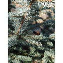 Small Crop Of Fat Albert Blue Spruce