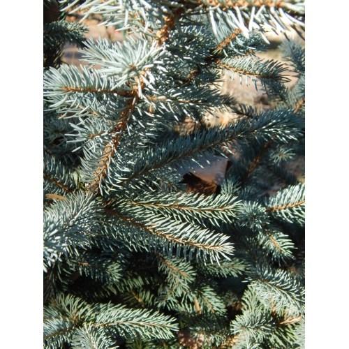 Medium Crop Of Fat Albert Blue Spruce