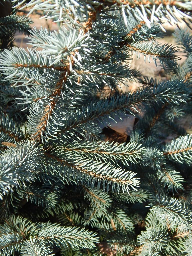 Large Of Fat Albert Blue Spruce