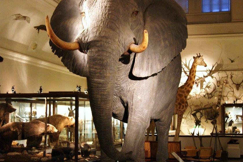 Elefant Göteborgs naturhistoriska museum