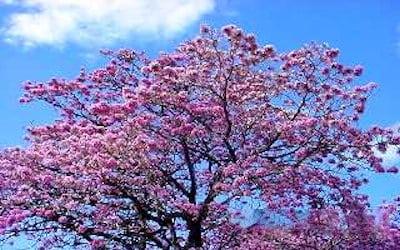 Rboles ornamentales reas protegidas y parques for Imagenes de arboles ornamentales