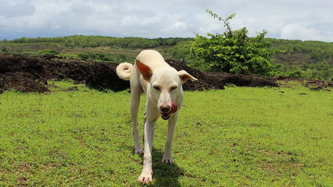 A white stray dog walking towards the camera, licking it's tongue.