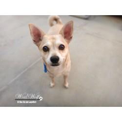 Small Crop Of Chihuahua Corgi Mix
