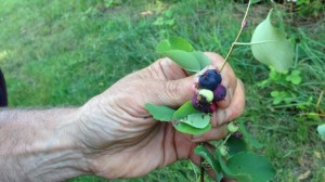 'Certain U.S. states call them 'juneberries' Canucks call them 'Saskatoon berries'.