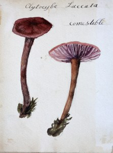 Jean-Claude Fourneau citocybe laqué laccata