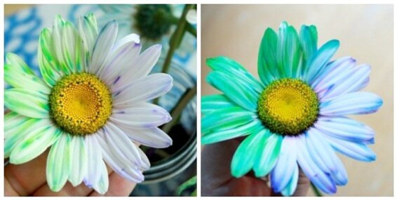 How to Dye Flowers with Two Colors