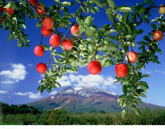 是誰種的蘋果林