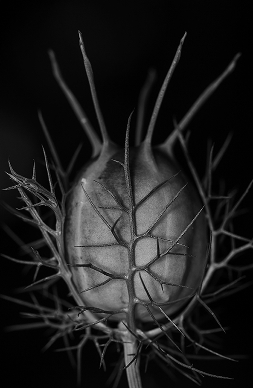 "This picture is part of Anna's ongoing series, named ""Untitled"".  All pictures in the series are black-and-white, 22""x 30"", macro photographs of living plant elements found in nature.  Pictures in the series are deliberately Untitled, so as not to distract from the image itself.  The art is intended to  invite contemplation"