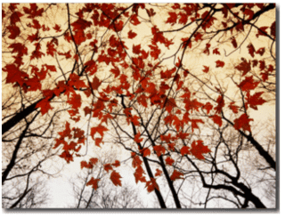 Bare Branches and Red Maple Leaves Growing Alongside the Highway - photographic print by Raymond Gehman