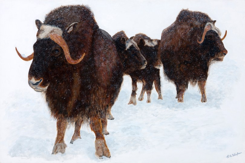 Family of Musk Ox -