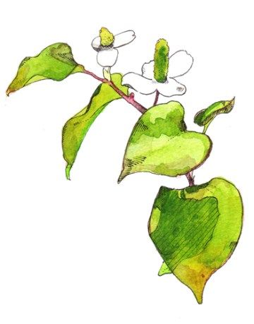 ドクダミ(Houttuynia cordata)