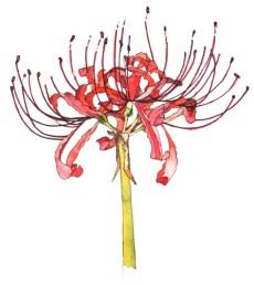 ヒガンバナ(red spider lily)