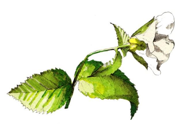 シロヤマブキ(Rhodotypos scandens (Thunb.) Makino)
